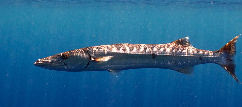 Especies marinas de las Islas Baleares, Barracuda