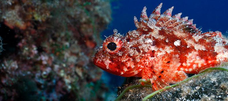 Especies marinas de las Islas Baleares, Escórpora