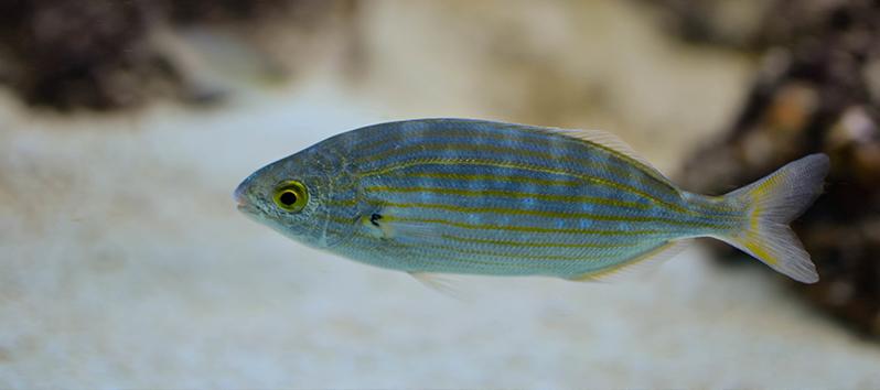 Especies marinas de las Islas Baleares, Salpa