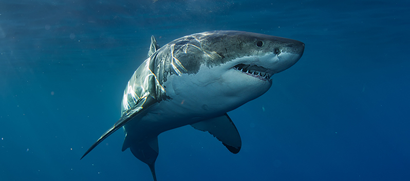 Especies marinas de las Islas Baleares, Tiburón blanco