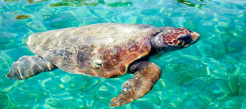 Especies marinas de las Islas Baleares, Tortuga Boba