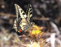 especies de mariposas
