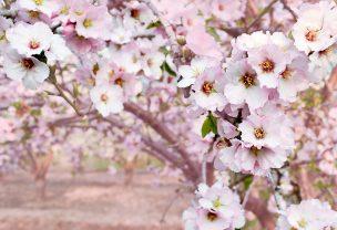 route of Mallorca´s almond trees