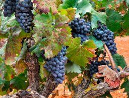 wine routes in Mallorca